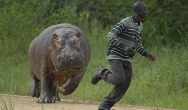 Hipopotamii lui Escobar, problemă pentru mediu