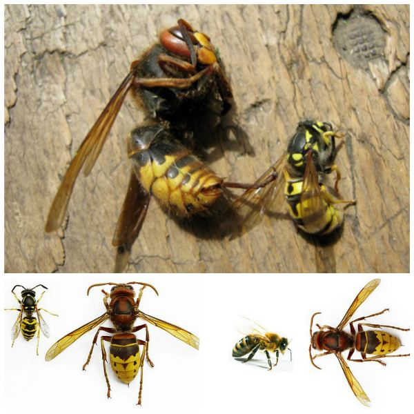 viespi înguste înarmate cu vederea
