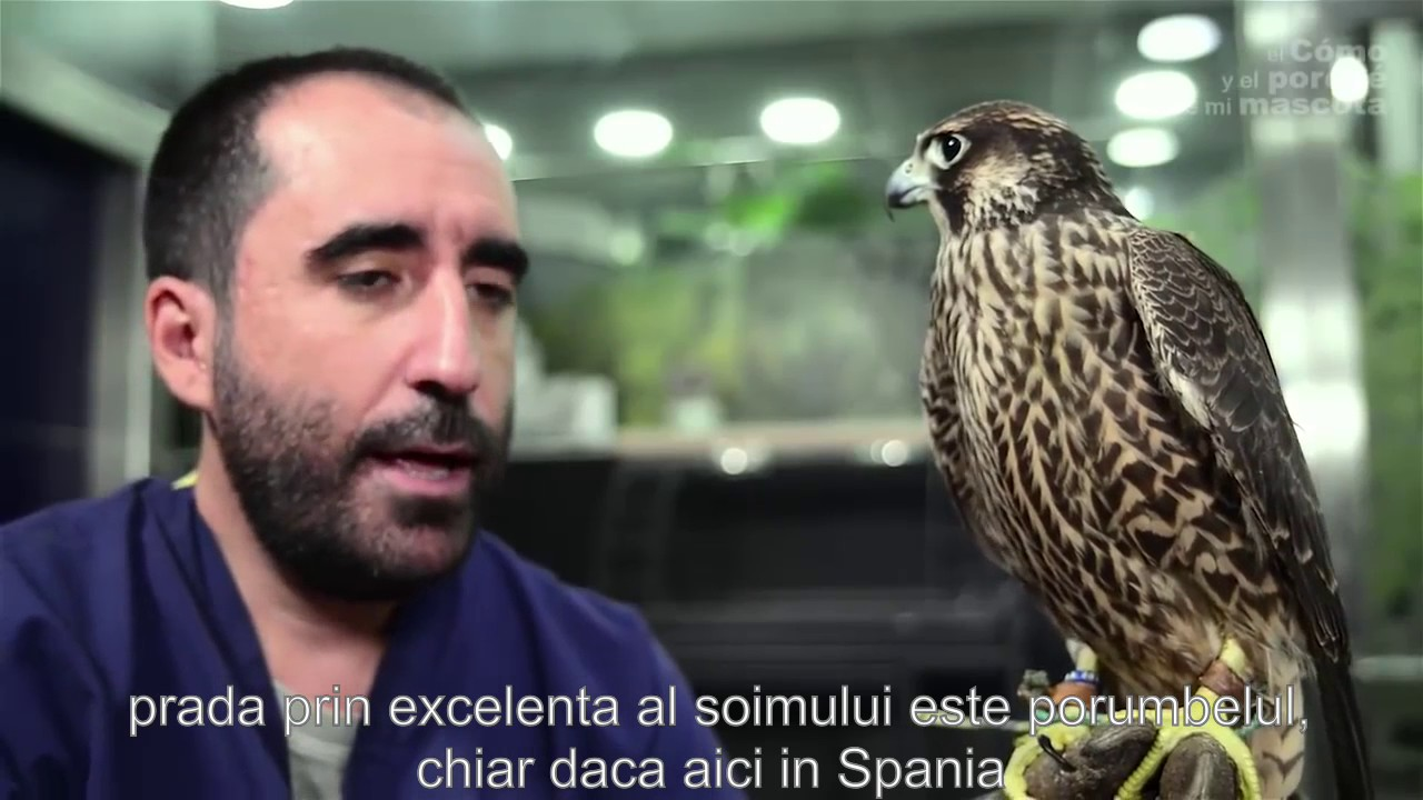 Șoim falc Păsări alb-negru, șoim, animal, animale png | PNGEgg