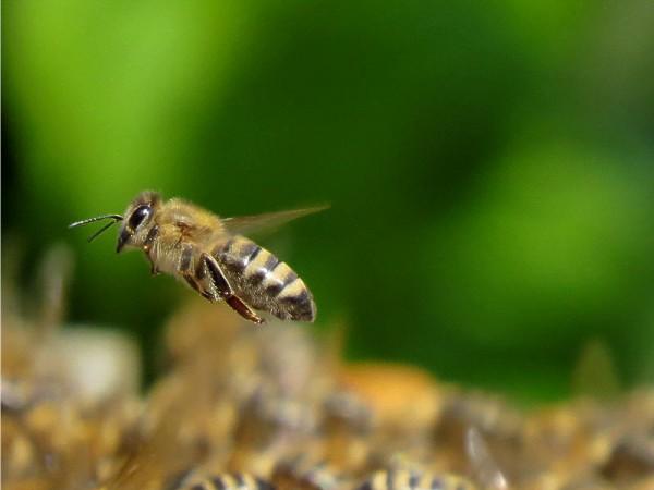 Păstura, pâinea Albinelor – de 3 ori mai puternică nutrițional decâ