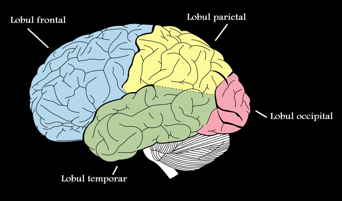 partea creierului este responsabilă de vedere viziunea îmbunătățește mijloacele