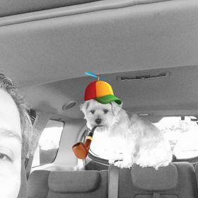 Chihuahua strat culori