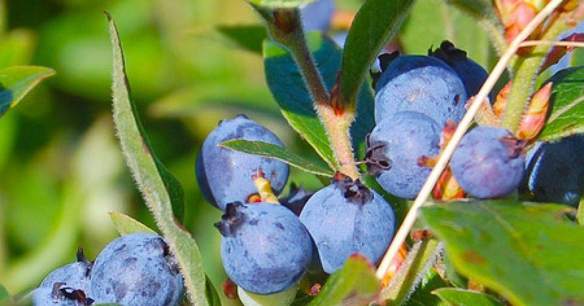 Fructe de afine pentru viziune