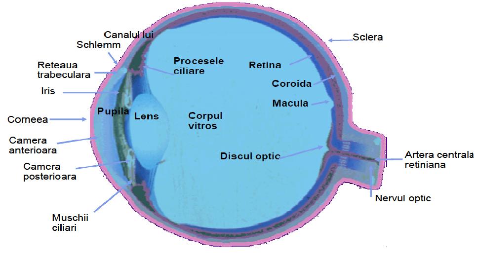slăbirea miopiei mușchilor ciliari studii vizuale