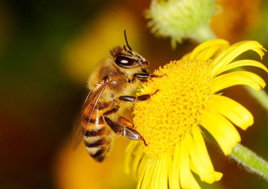 Pâine de albine și viziune Pâine de albine: proprietăți și aplicații utile - Medicină Alternativă -