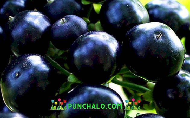 Sunberry: proprietăți utile, gătit și rețete