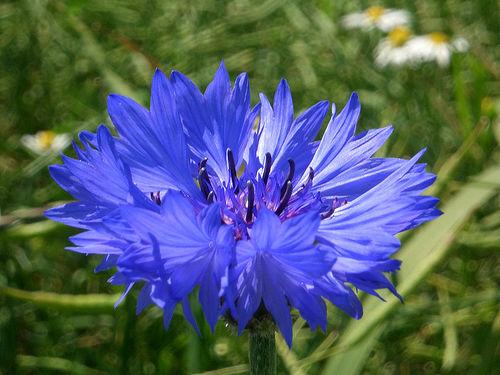 flori de porumb pentru a îmbunătăți vederea