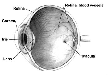 anatomie de lectură a organului vederii frunzele de ceai ajută vederea
