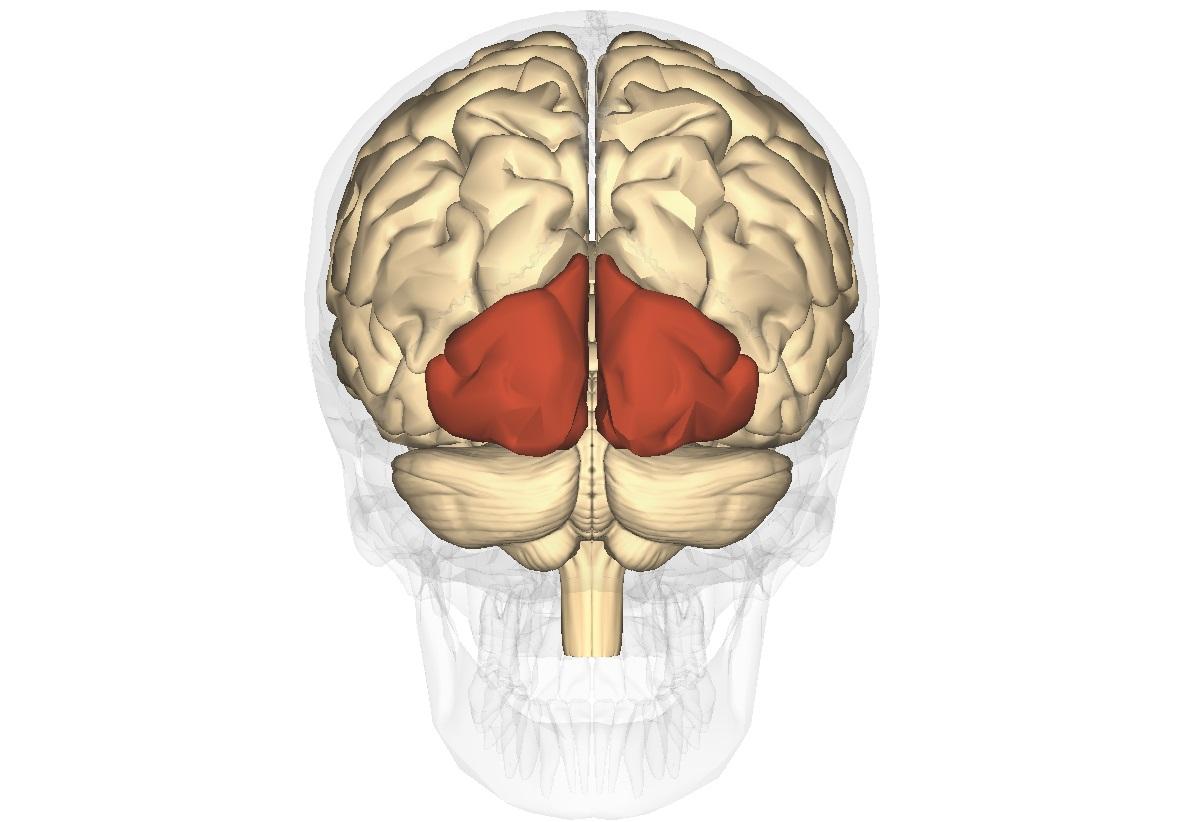 Care este diferenţa dintre emisfera stângă şi emisfera dreaptă a creierului