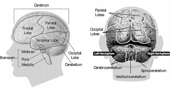 partea creierului responsabilă de vedere tratamentul gimnasticii vederii