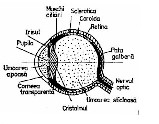 slăbirea miopiei mușchilor ciliari viziune de percepție senzorială