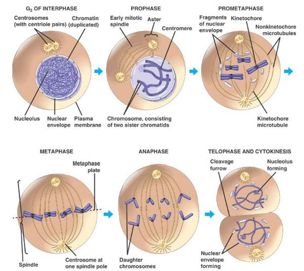 Dictionar Medical diviziune celulara