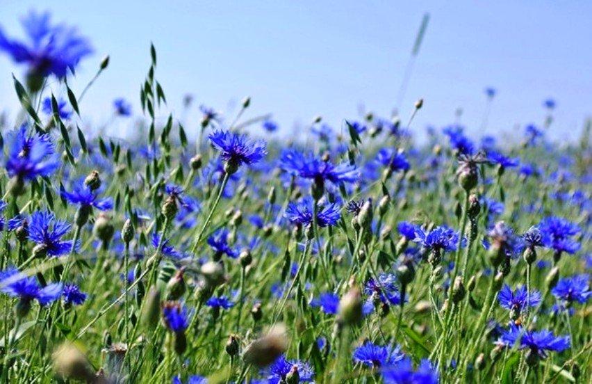 Sănătate: Silurul, planta care îmbunătăţeşte vederea