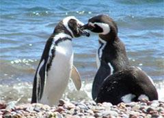 miopie la pinguini