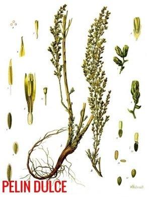 Pelinul, o minunata planta care combate cancerul si ucide parazitii