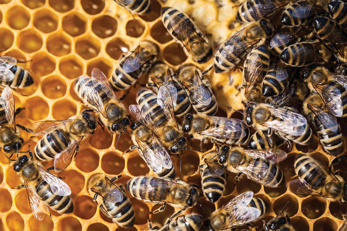 pâine de albine pentru vedere